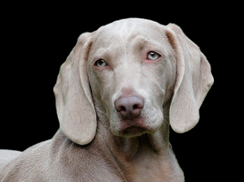 Менингоэнцефалит у собак